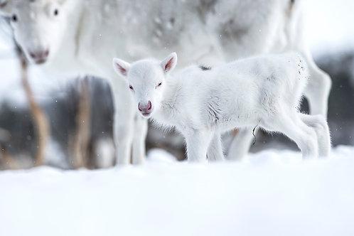 Reindeer 2154