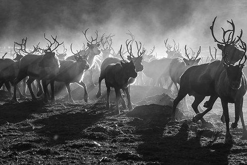 Reindeers 2174