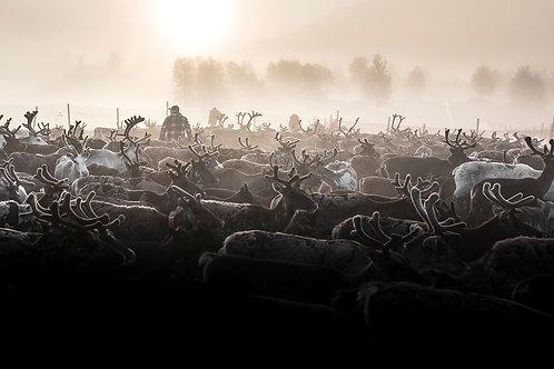 Samis & reindeers 4620
