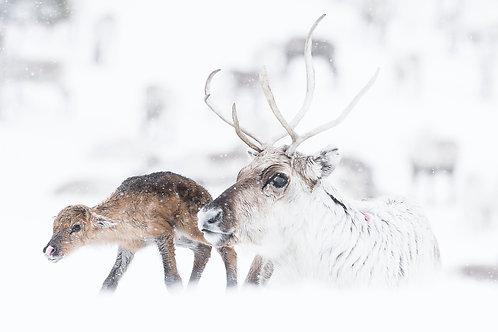 Reindeer 2026