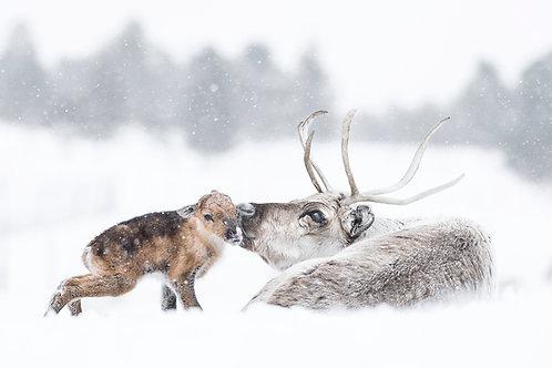 Reindeer 2038