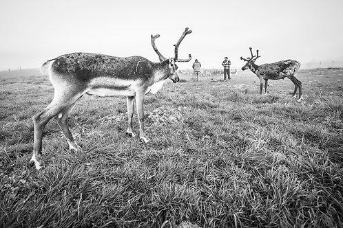 Samis & reindeers 4579