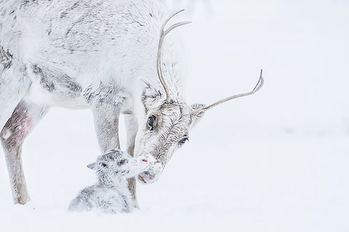 Reindeer 2105