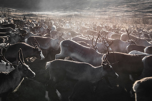 Reindeers 2181