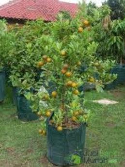 bibit jeruk siam madu