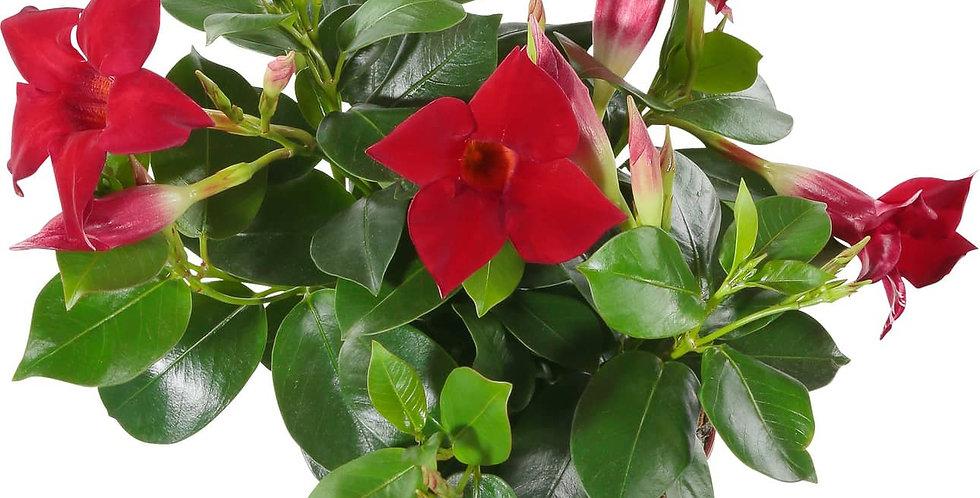 Dipladenia rouge pot 13-14 cm