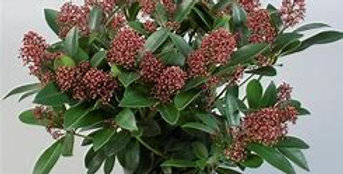 Skimmia grand pot