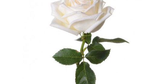 Rose - grande