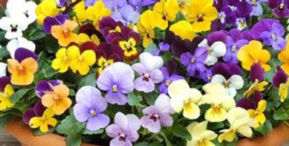 Terrine de Viola cornuta en mélange de couleurs