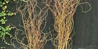 Branche de saule tordu