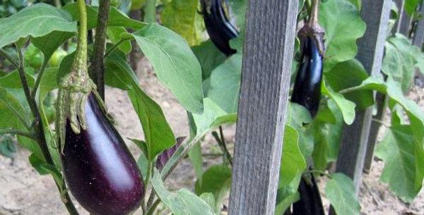 Planton aubergine