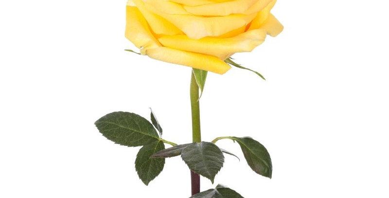 Rose - moyenne