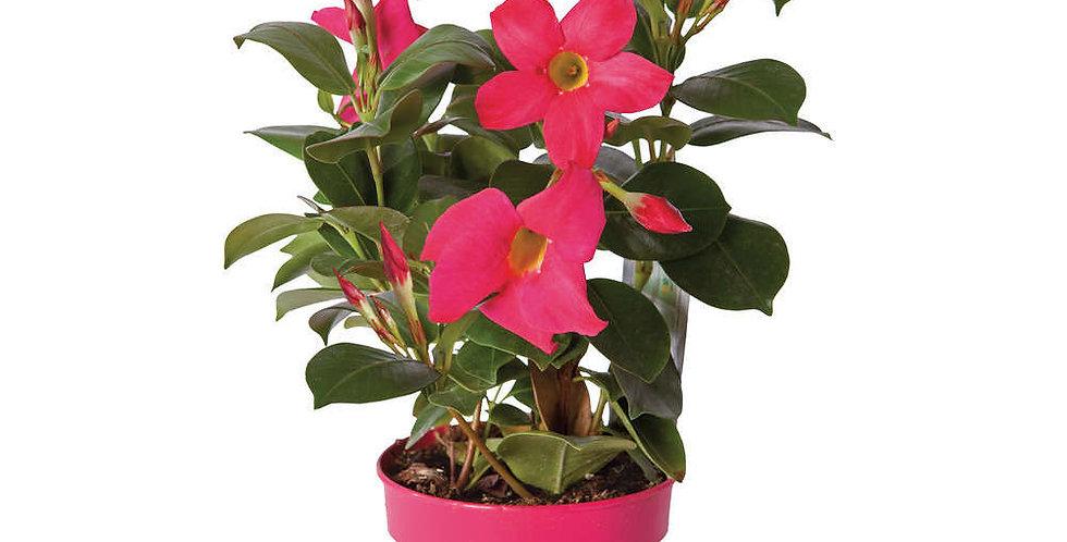 Dipladenia rose pot 13-14 cm