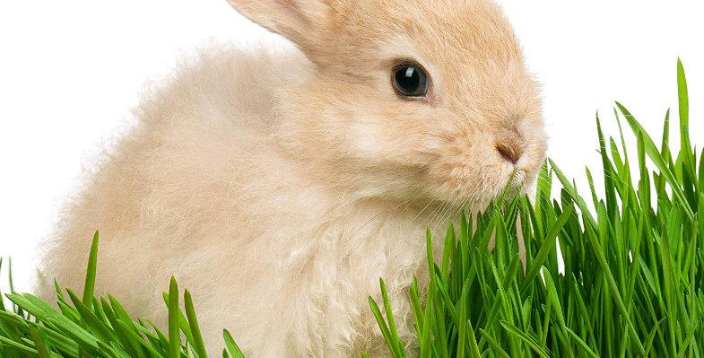 Herbe à lapin