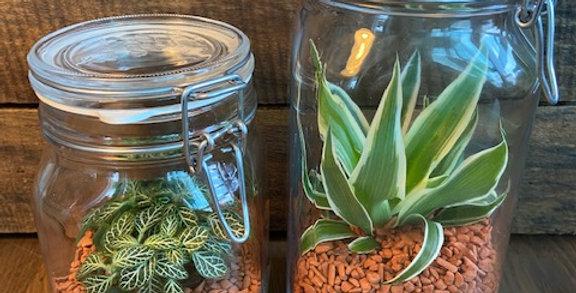 Lot de 2 bocaux avec plantes Phitonia, Chlorophytum