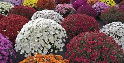Chrysanthème boule petites fleurs