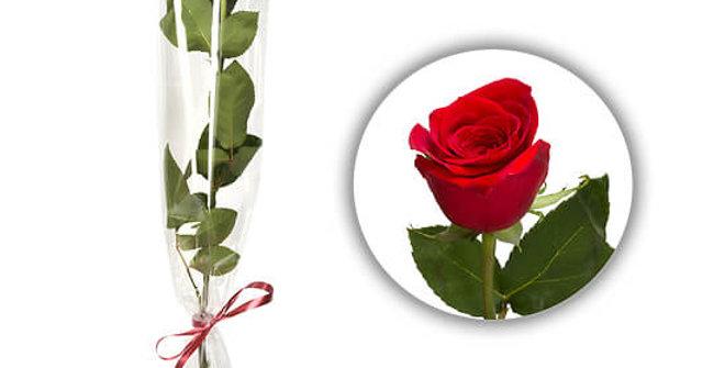 Rose rouge tige unique