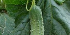 Planton de cornichon