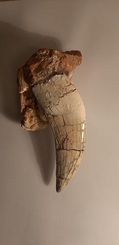 dent de carnivore fossile, tigre à dents de sabre