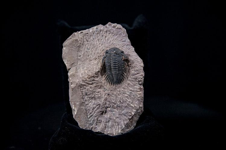 trilobite maroc hollardops devonien