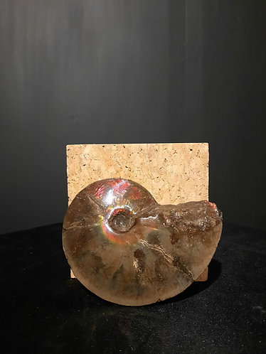 Ammonite (ammolite) placenticeras