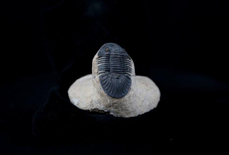 trilobite du Maroc