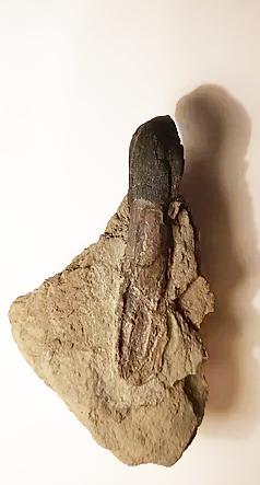 Dent de Camarasaurus lentus