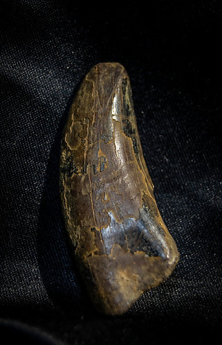 dent Albertosaurus Canada