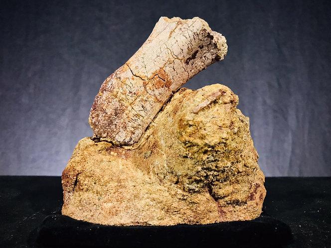 Dinosaure. Ankylosaure. Morceau d'humérus fossile. Fossile du Campanien