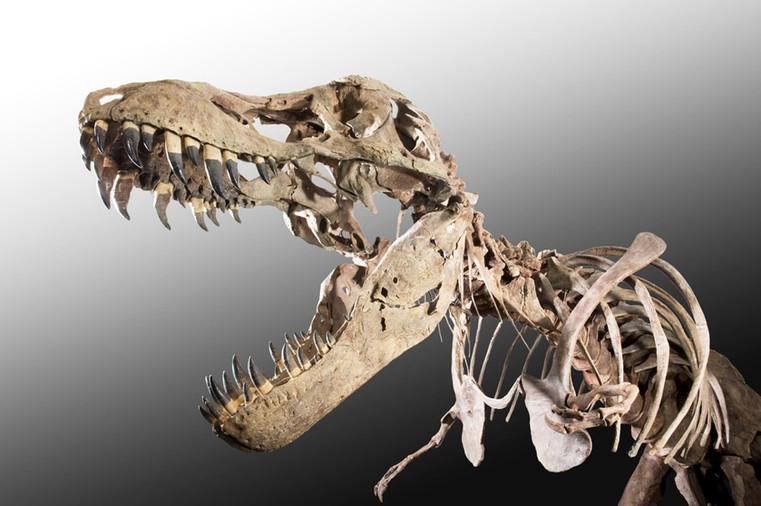 fossile de t rex