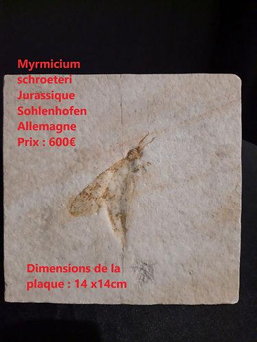 Insecte sur plaque Myrmicium schroeteri  Jurassique  Solnhofen