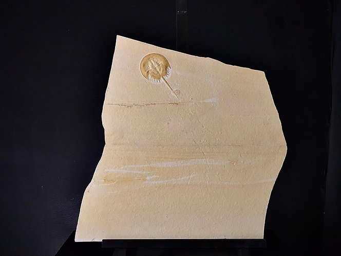 limule fossile kimmeridgien solnhofen