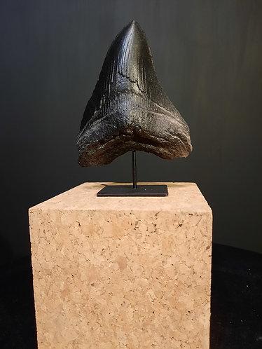 moulage de dent de Carcharodon sur socle