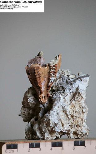Mâchoire de Caïnotherium laticurvatum  Miocène inférieur  Montaigu le Blin, France