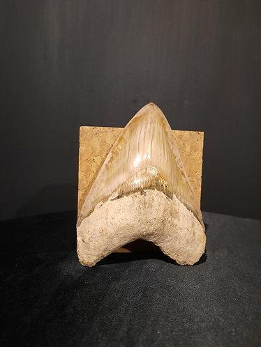 Dent de Carcharodon Megalodon Miocène moyen Indonesie