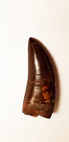 Dent de Carcharodontosaure