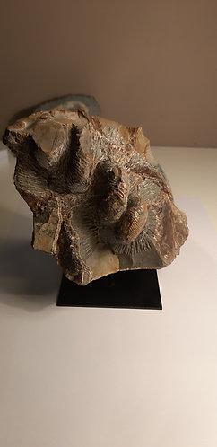 ammonite eubostrychoceras