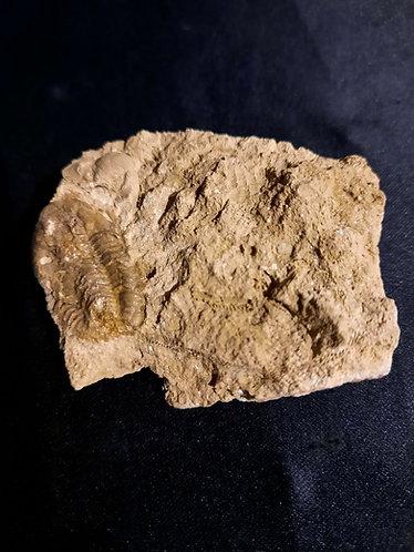Trilobite Weberphillipsia kirgisica  Tournaisien supérieur Malyi, Karatau, Kazakhstan