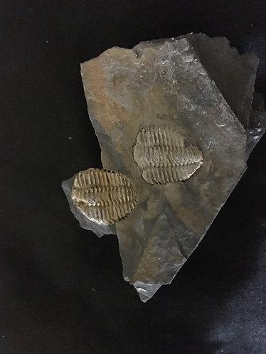 Trilobite Placoparia tournemini à vendre