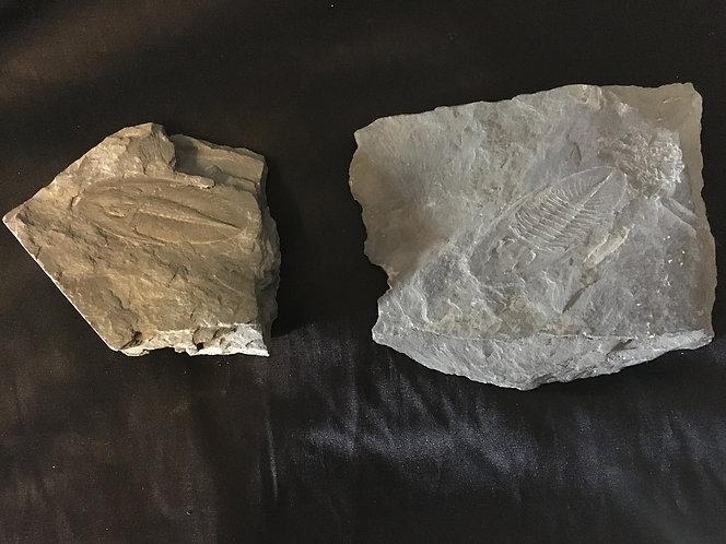 Trilobite empreinte et contre empreinte. à vendre