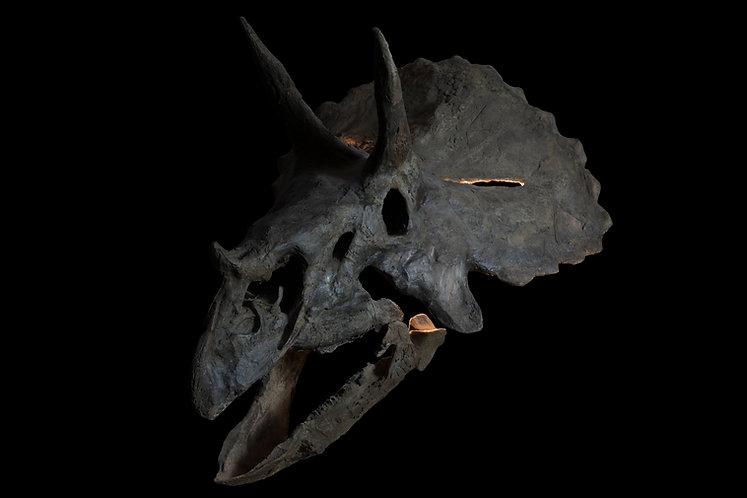 vente Crâne de Tricératops  Annuler  Sauvegarder