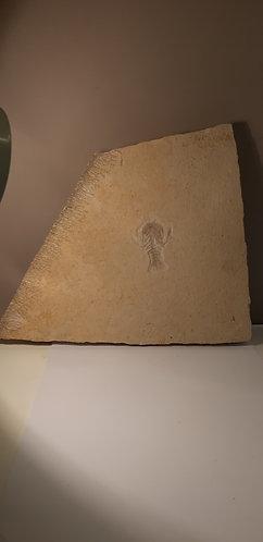 vente Crustacé fossile Knebelia bilobata