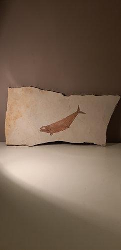poisson fossile tharsis dubius
