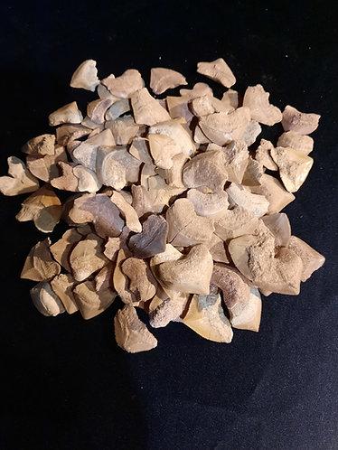 100 dents de requin Squalicorax, Crétacé supérieur. Phosphates du Maroc.