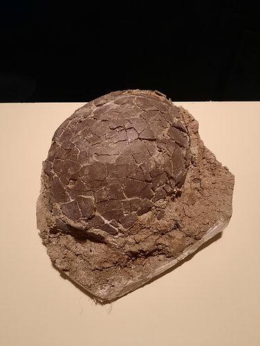 œuf de dinosaure de l'Hérault, France. Cairoolithus