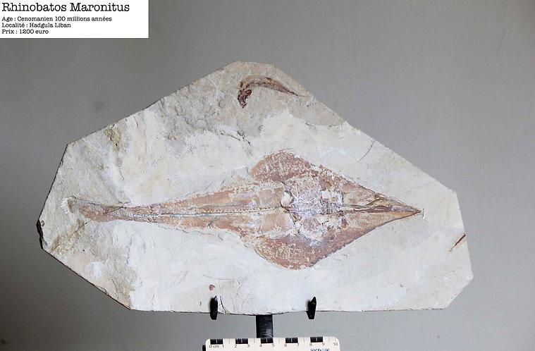 raie fossile liban cénomanien