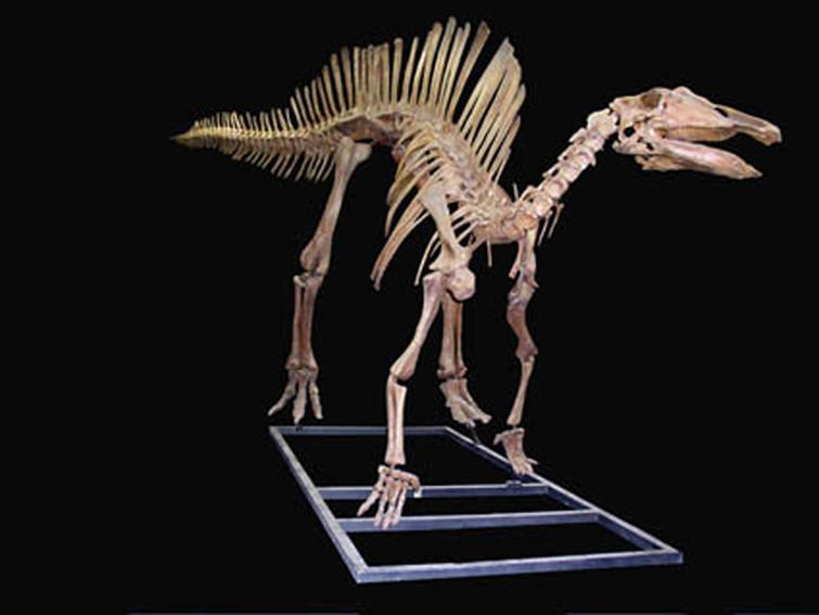 Squelette d'un dinosaure fossile