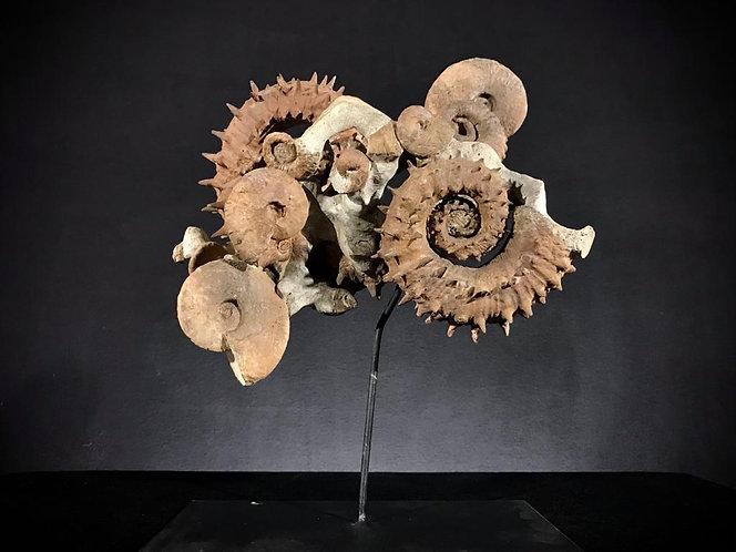 ammonites Emericiceras Maroc barrémien