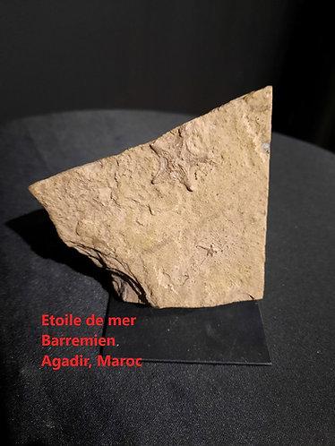 Etoile de mer fossile barremien, agadir