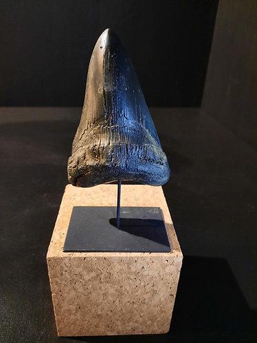 moulage de dent de carcharodon megalodon sur socle
